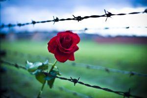 Auschwitz-rose